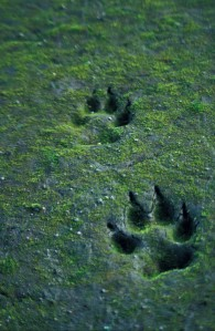 Canis_lupus_tracks_in_sand